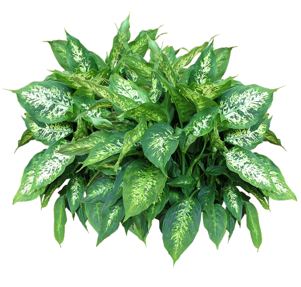 Jacey alocasia plant texture. Planting clipart top view