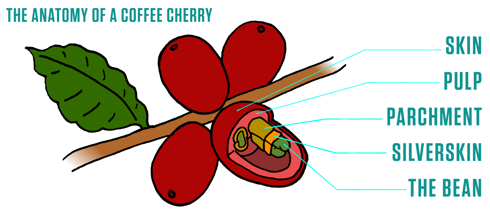 Plants clipart coffee tree. The story of metropolis