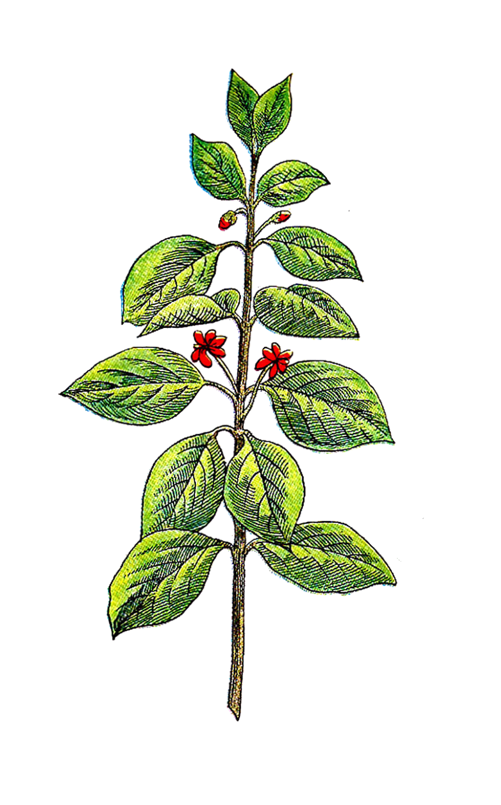 Antique images may this. Plants clipart herb