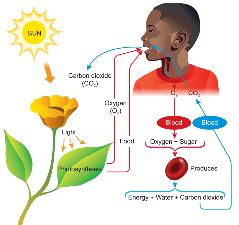 Oxygen carbon dioxide and. Plants clipart living thing