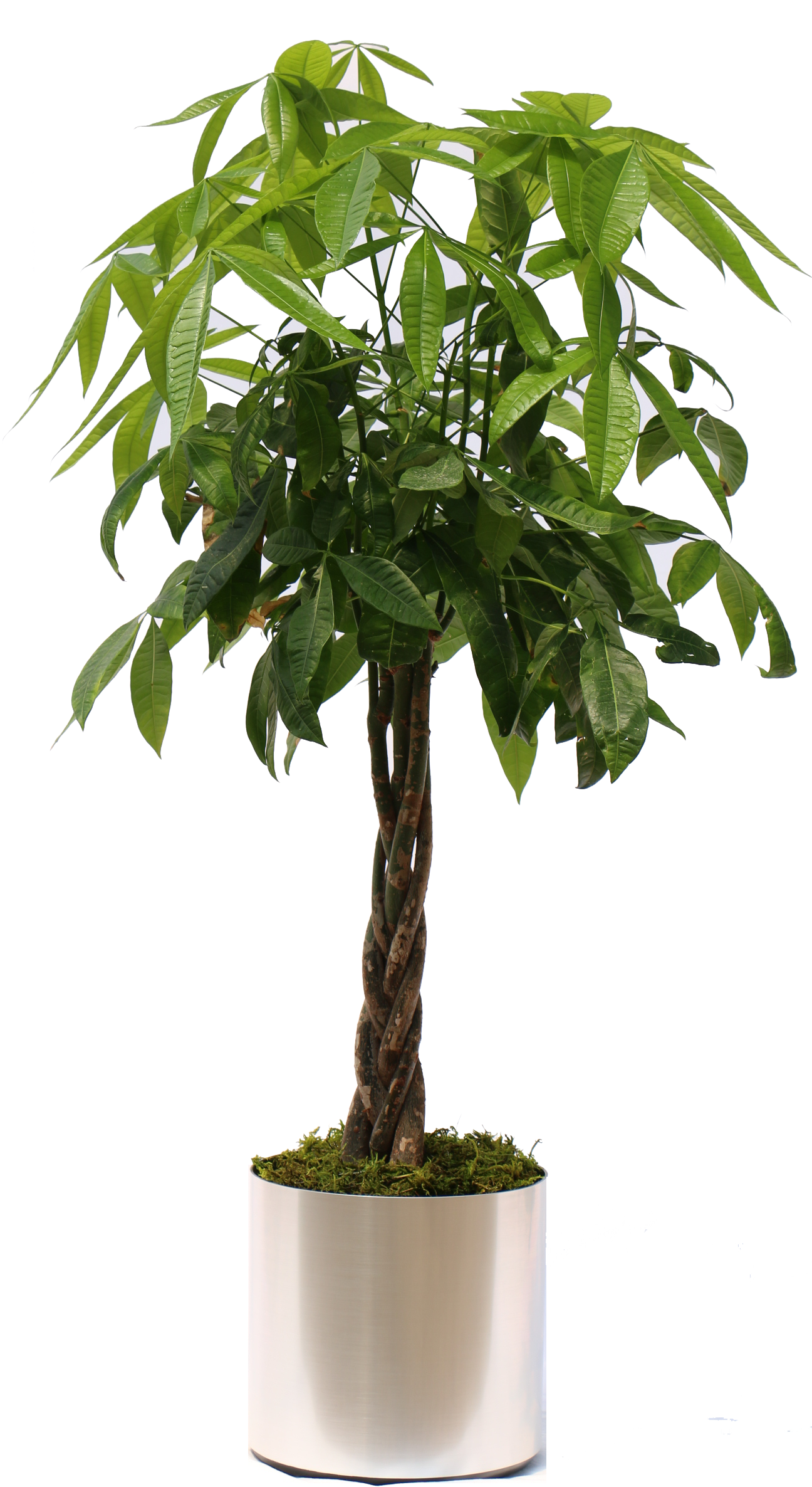 Hawaiian tropical plant sales. Money tree png