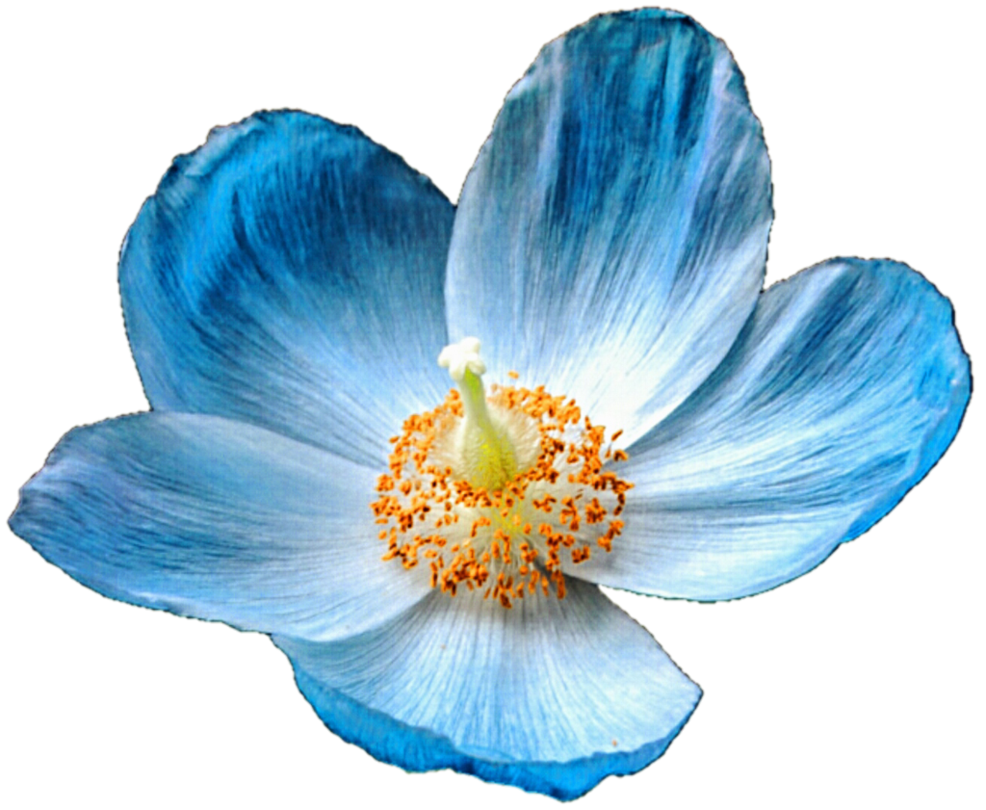 Poppy clipart row poppy. Iceland blue by jeanicebartzen