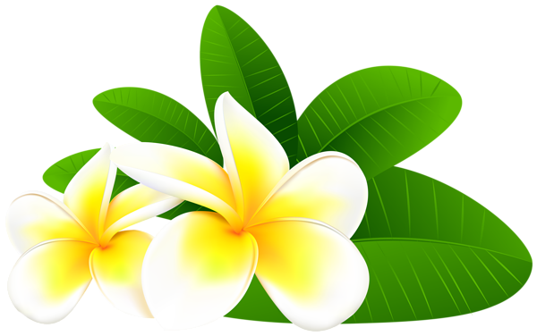 Clipart at getdrawings com. Plumeria flower png