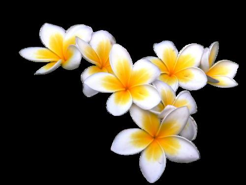 Flowers photos . Plumeria flower png