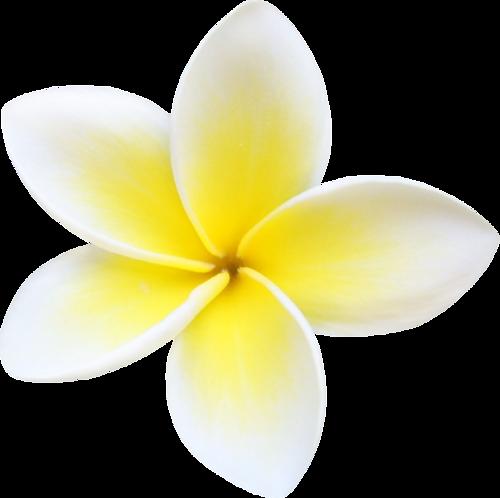 Plumeria flower png. File mart