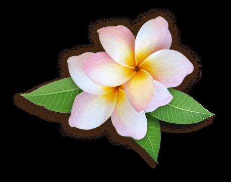 Plumeria flower png. Flowers hd