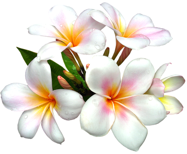 White gallery free clipart. Plumeria flower png