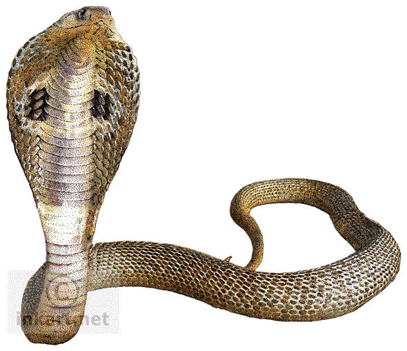 Cobra snake mart. Png files transparent background