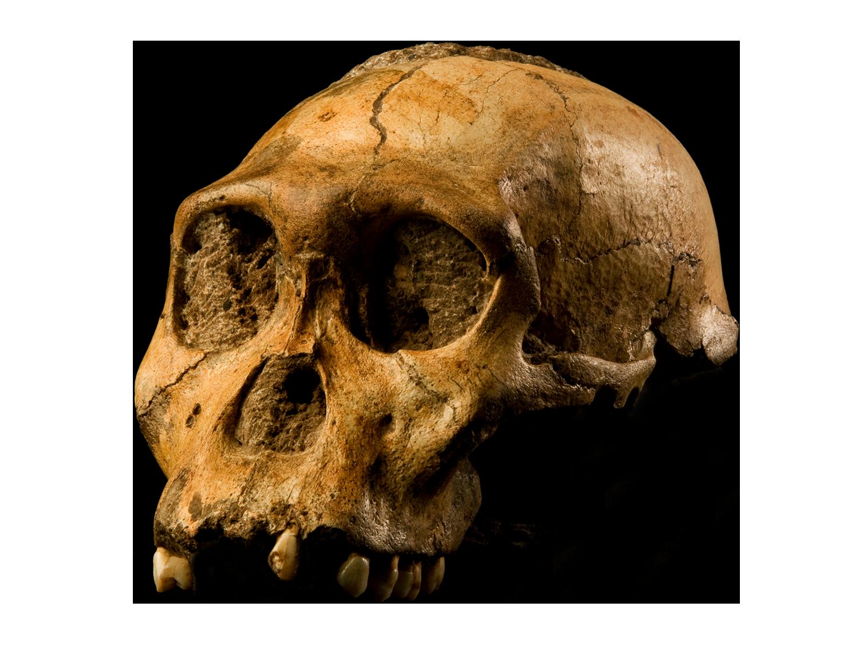 File australopithecus sediba fileaustralopithecus. Png files with transparent background