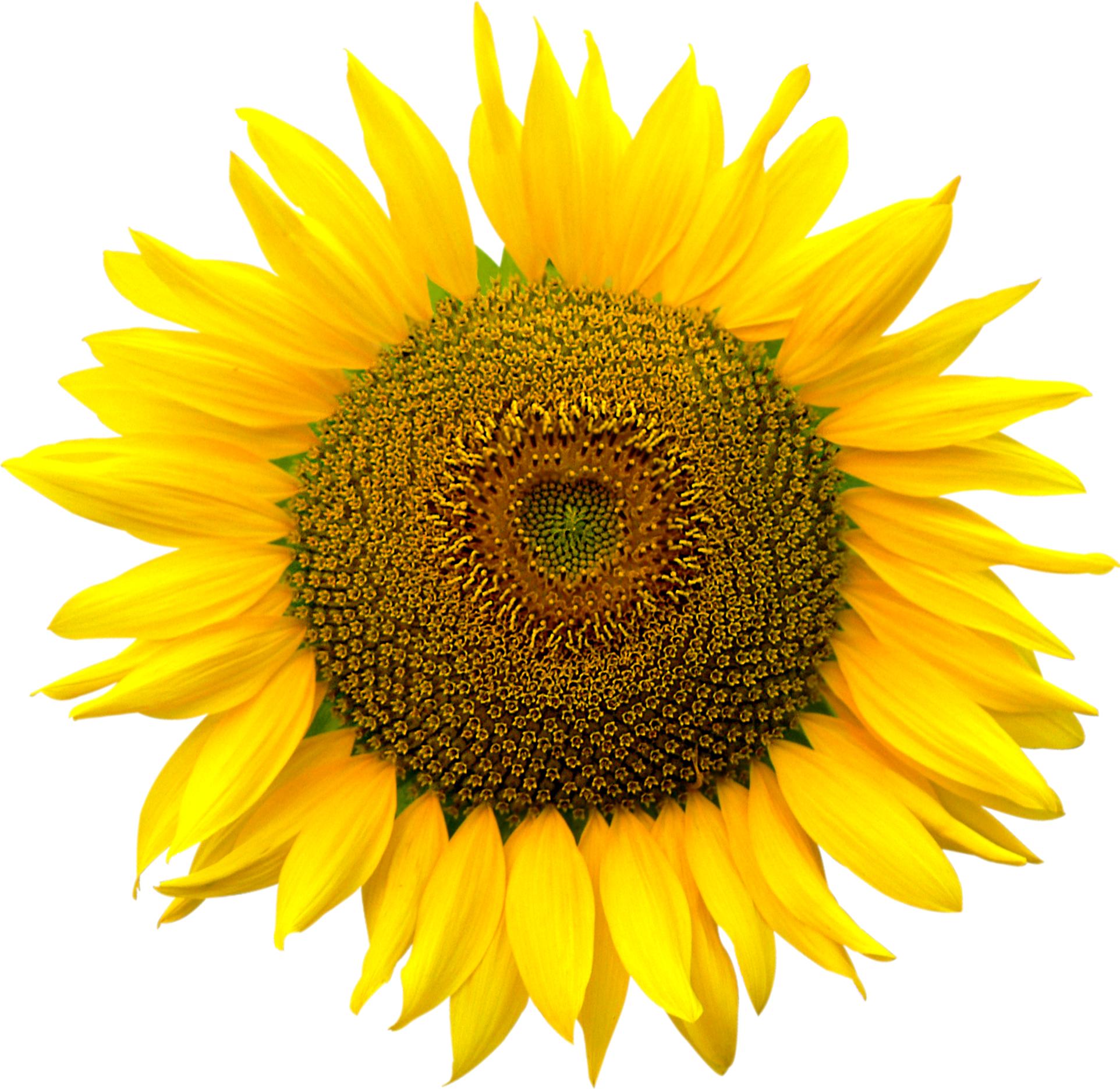 Sunflower heart inside file. Png format images
