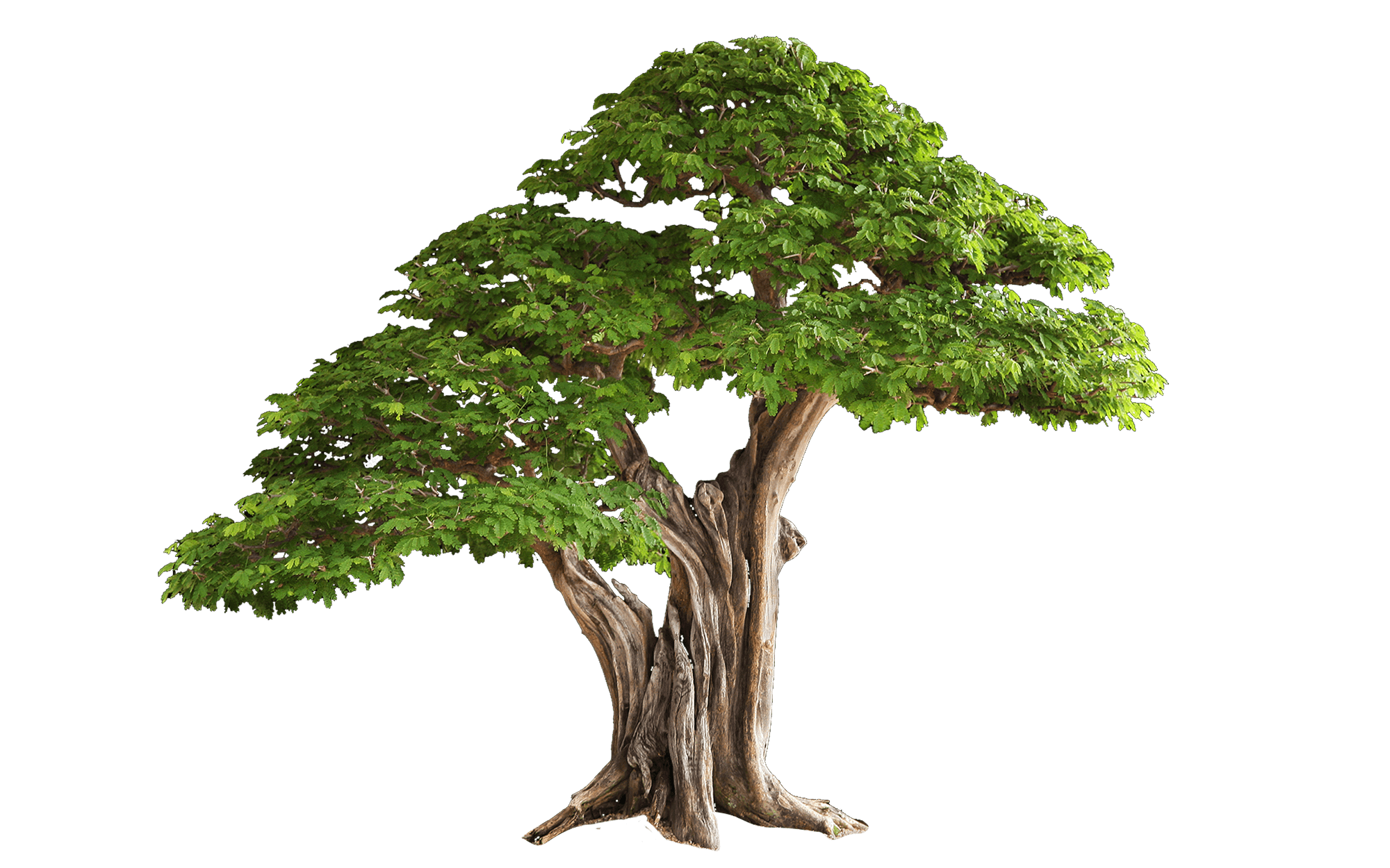 Tree quality transparent pictures. Png images gallery