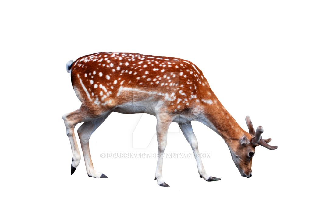 Png images with transparent background. Young deer on a