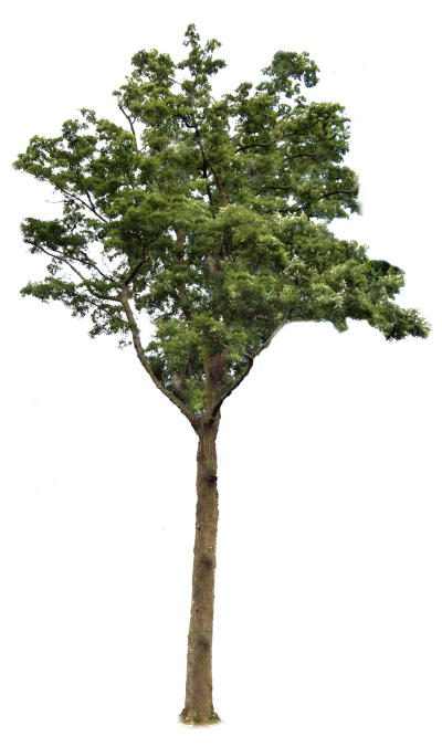 Png images with transparent background. Download tree free image