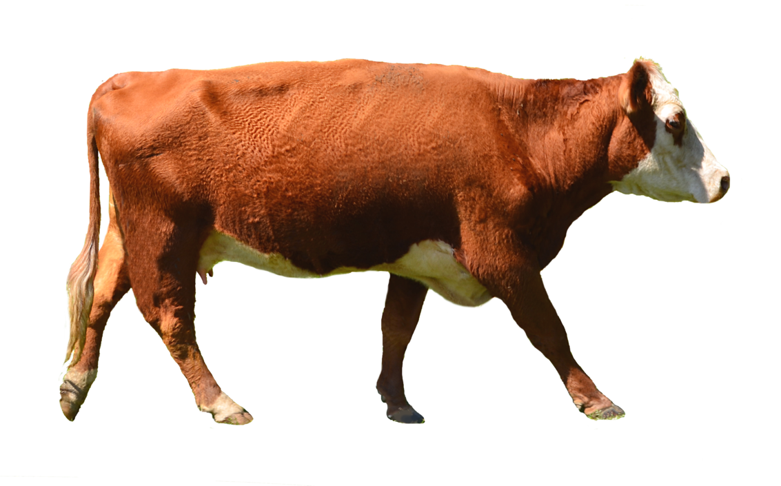 Cow clipart clipartix white. Png stock images