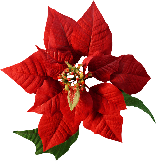 Happy christmas png. Poinsettias clipart december flower