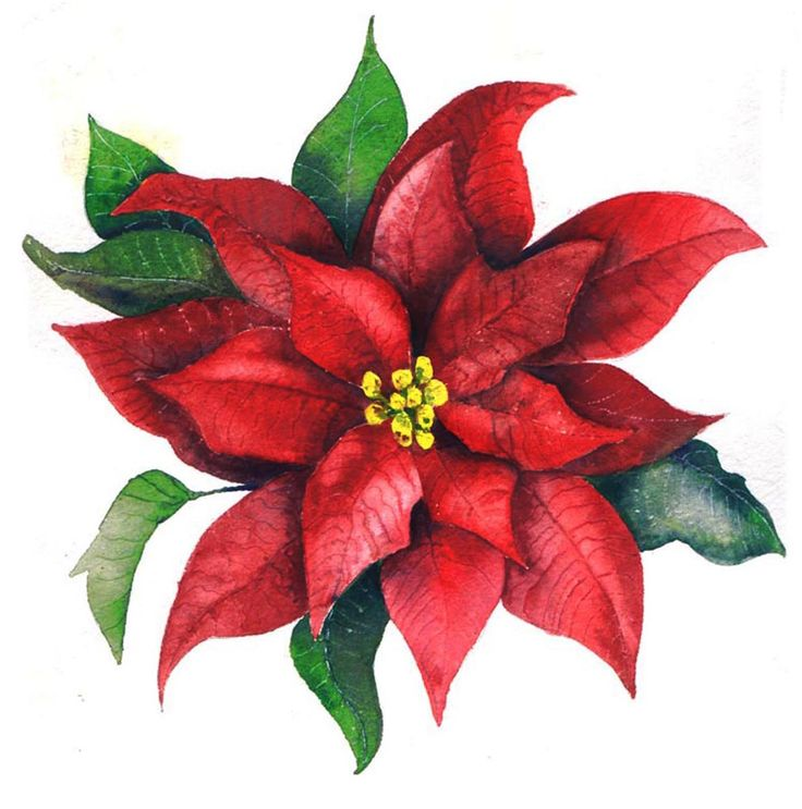 Pictures free download best. Poinsettia clipart design