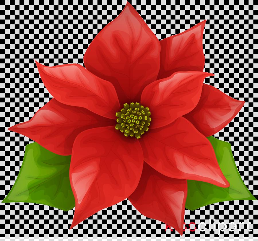 Flower petal red . Poinsettia clipart flowering plant