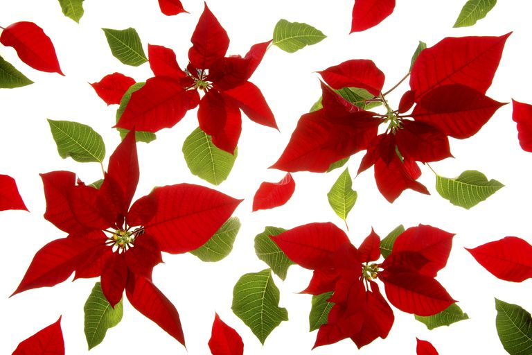 Poinsettia clipart kid. Ph paper holiday chemistry