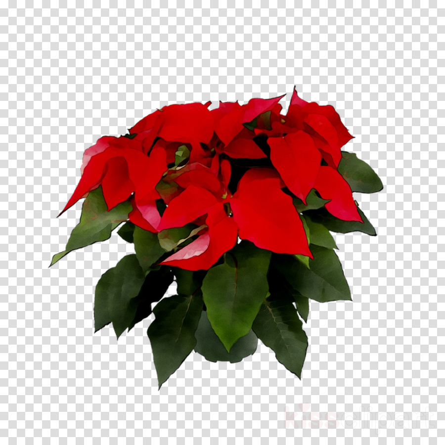 Poinsettia clipart poinsetta. Christmas holiday flower red