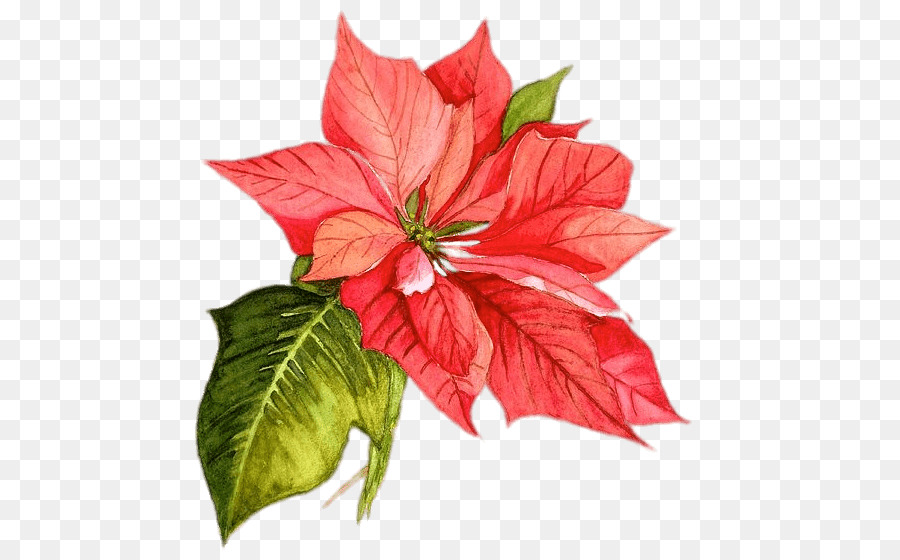 Poinsettia clipart watercolor. Christmas png download free