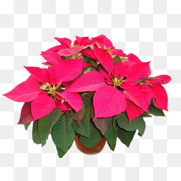 Poinsettias clipart. Poinsettia png vectors psd