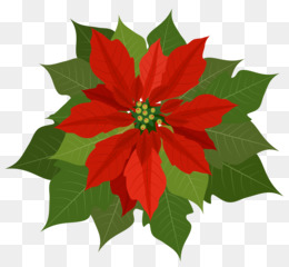 Poinsettias clipart. Christmas poinsettia png and