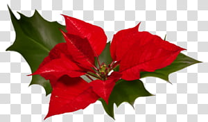 Poinsettias clipart animated. Poinsettia red flowers in