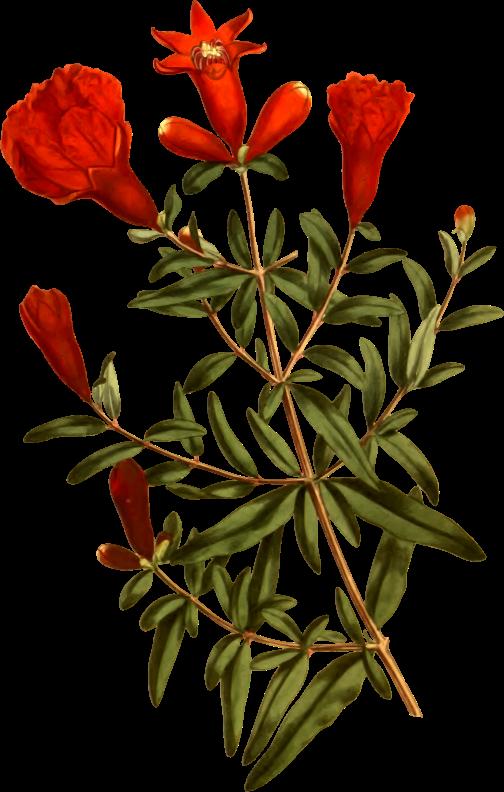 Dwarf medium image png. Pomegranate clipart pomegranate tree