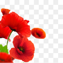 Png images vectors and. Poppy clipart