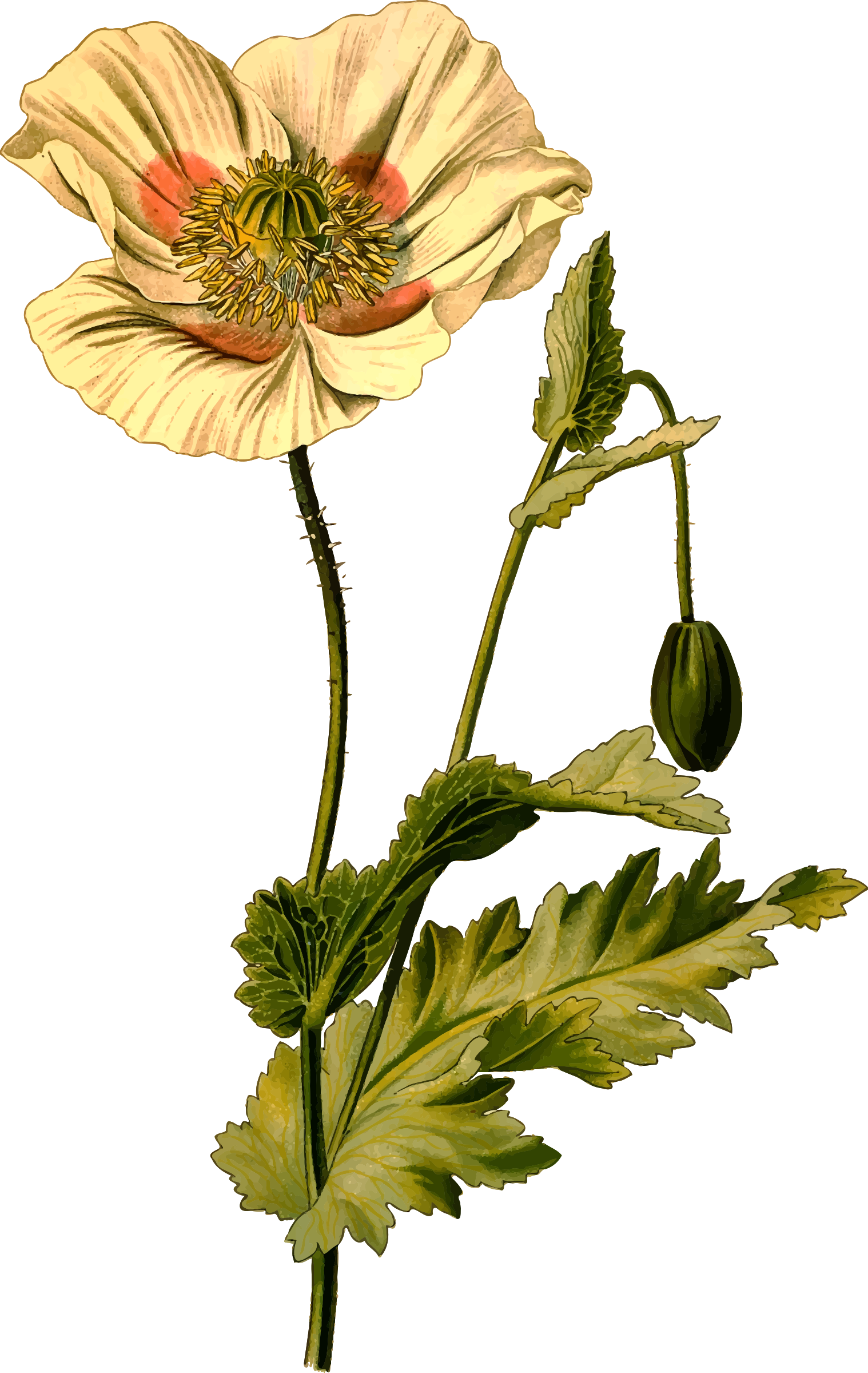 Opium detailed big image. Poppy clipart 4 flower