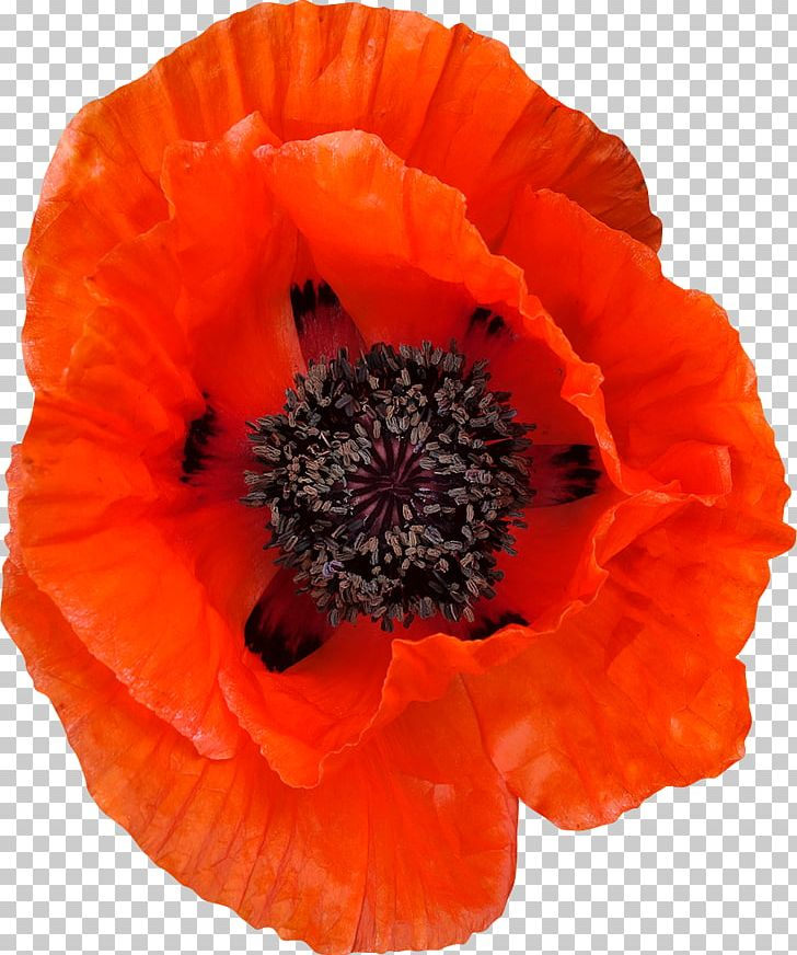 Common png annual plant. Poppy clipart 4 flower