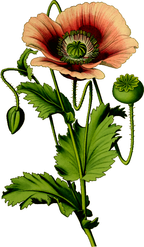 Poppy clipart 4 flower. Opium medium image png