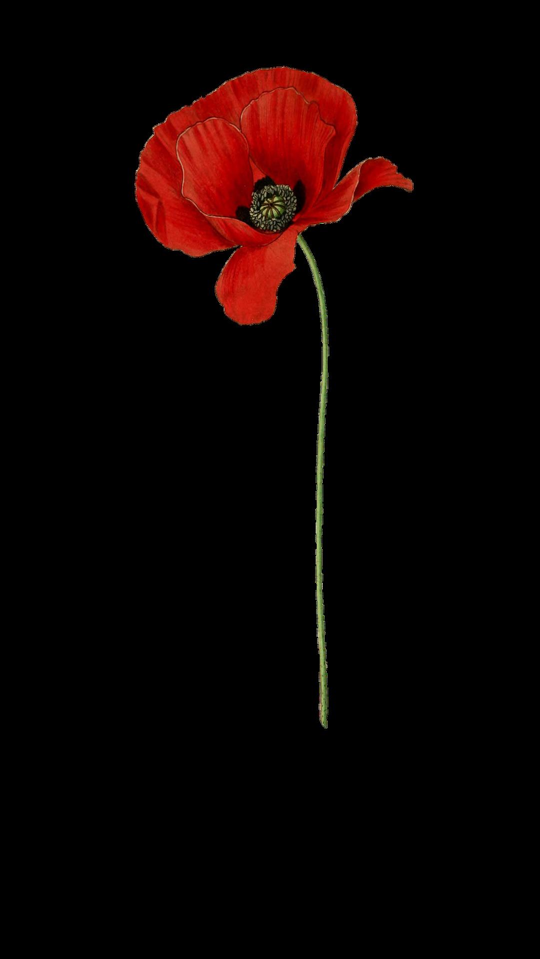 Flower choice image decoration. Poppy clipart anzac poppy