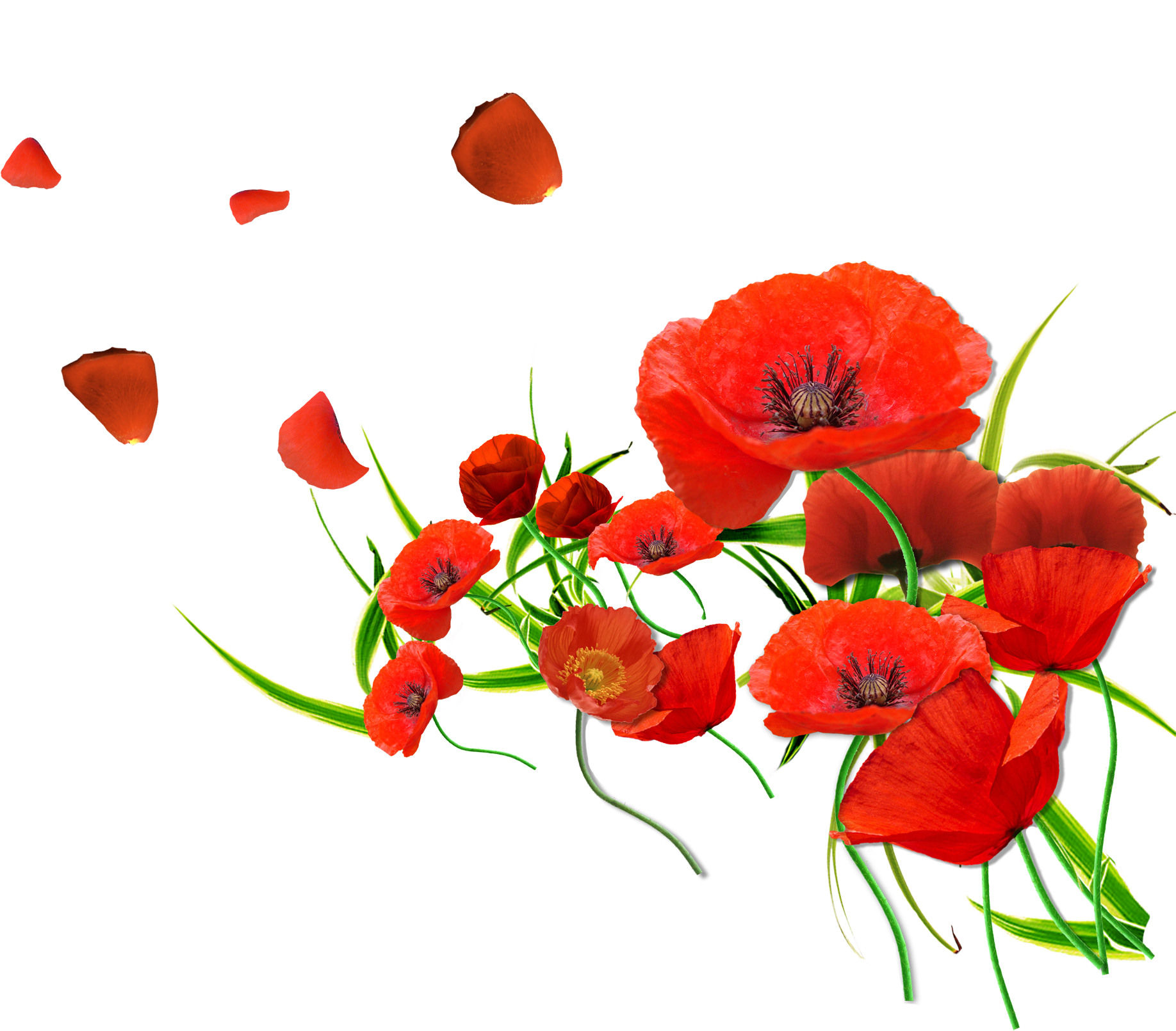 Image coquelicot rouge recherche. Poppy clipart armistice