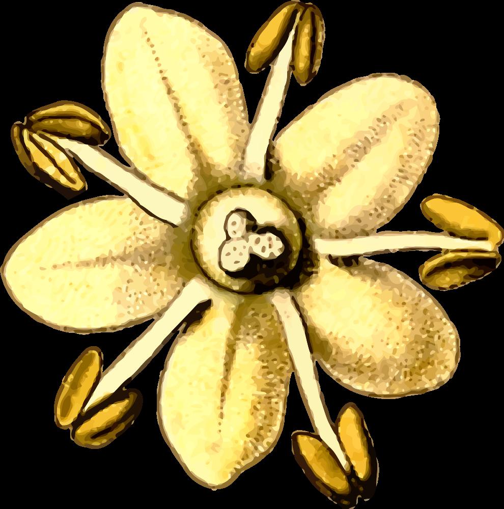 Poppy clipart blank. Onlinelabels clip art elderflower