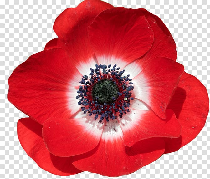 Poppy clipart clear background. Common flower in flanders