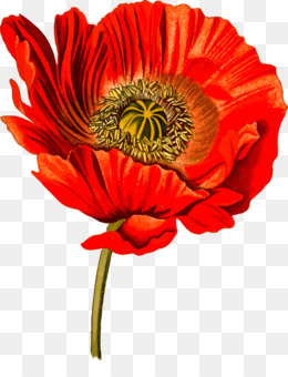 Opium png free download. Poppy clipart clear background