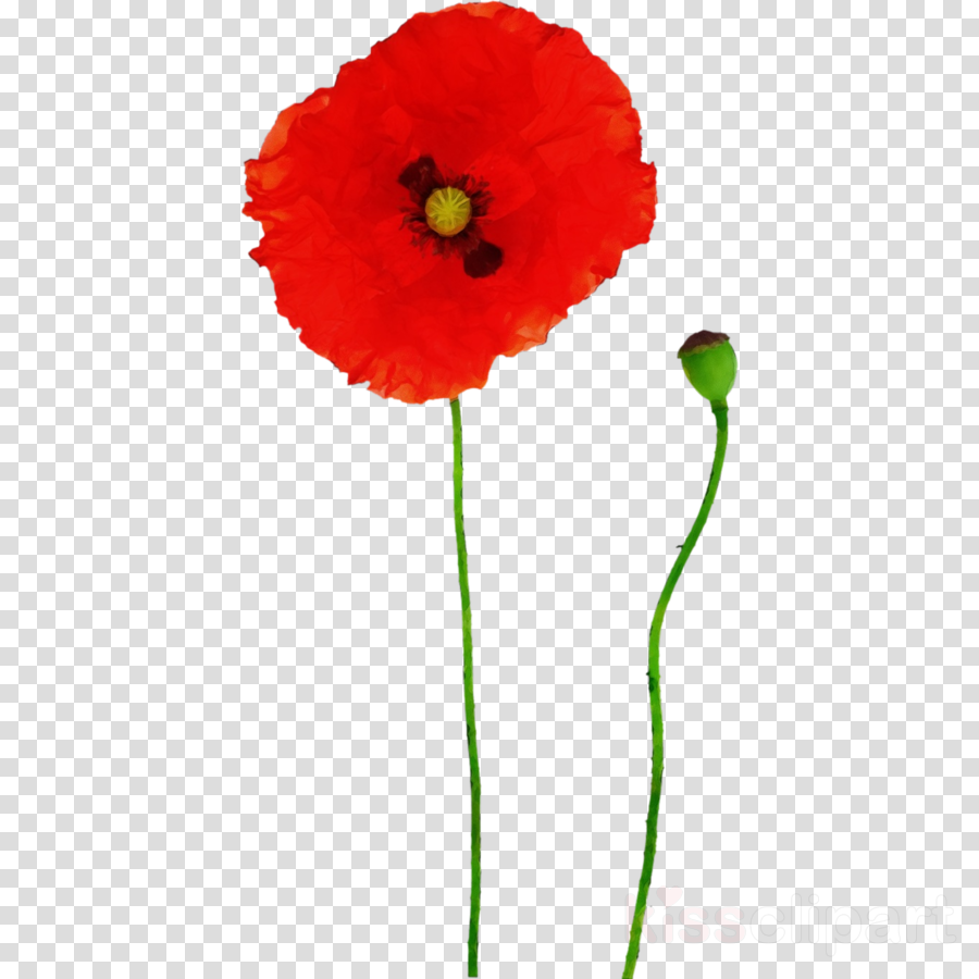 Red flower corn . Poppy clipart coquelicot