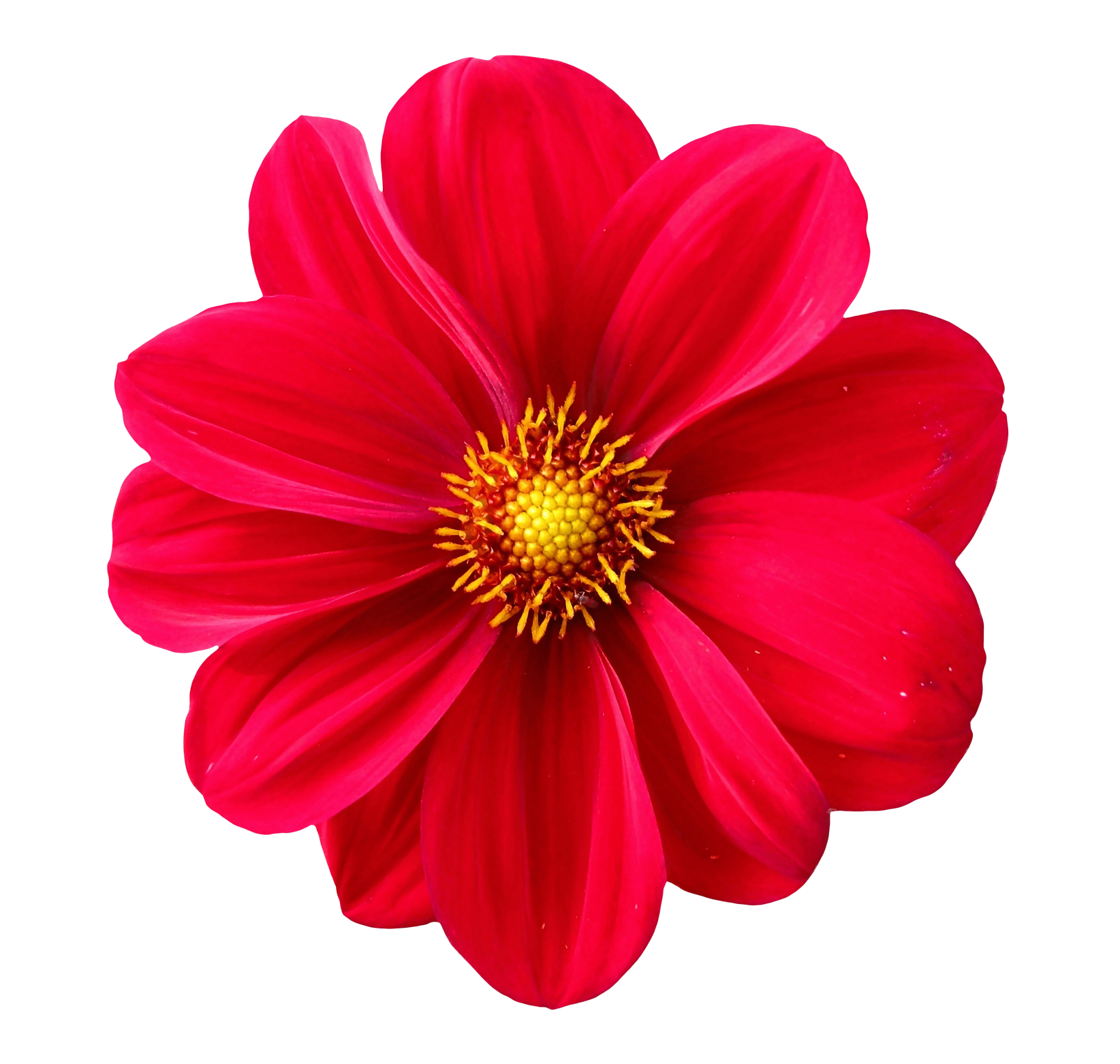 pinterest. Poppy clipart daisy