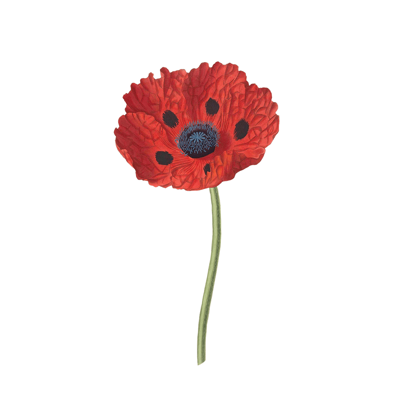 Poppy clipart drawing. Open transparent png stickpng