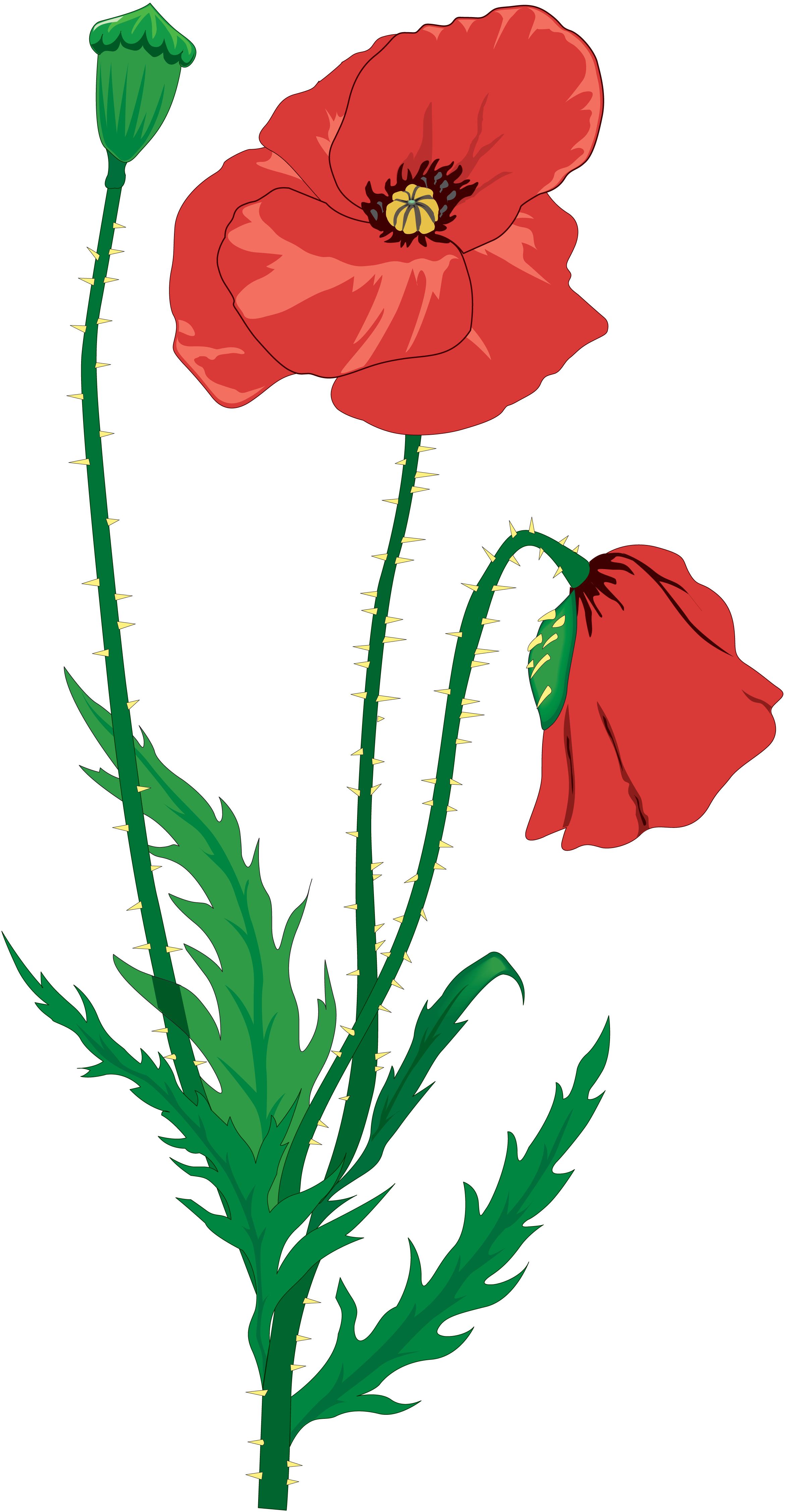 Flower clip art transprent. Poppy clipart drawing