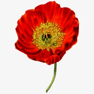 How to draw flower. Poppy clipart easy