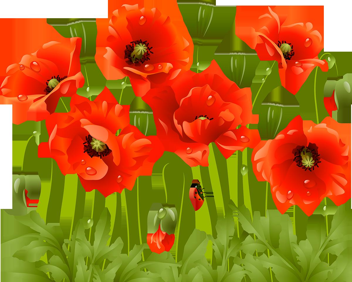 Poppy clipart flanders field. Tubes fleurs botanical art