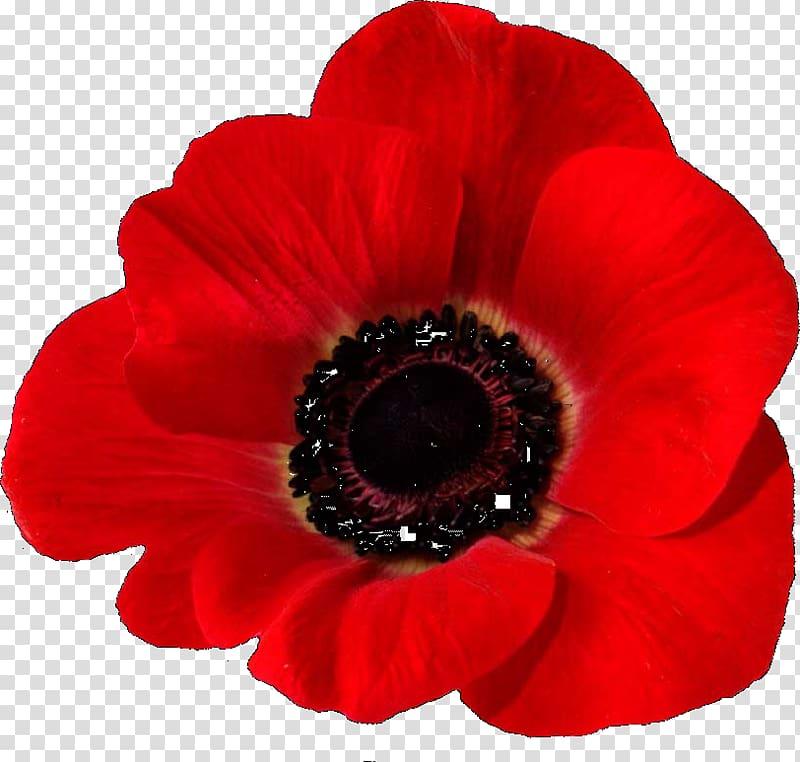 Poppy clipart flanders field. In fields remembrance common