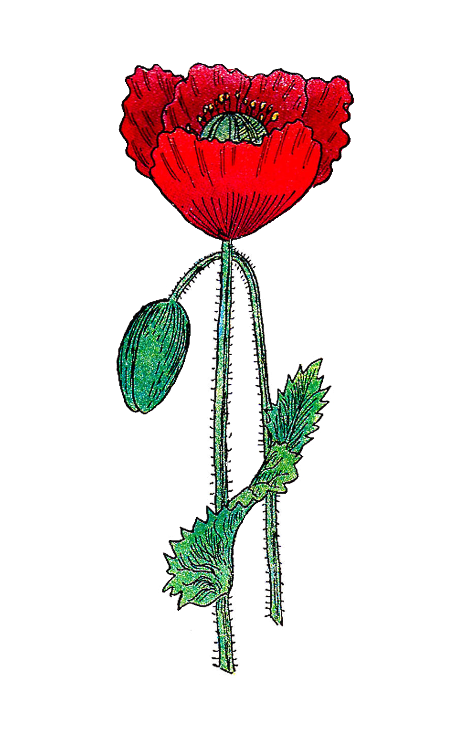 Poppy clipart illustration. Antique images free botanical