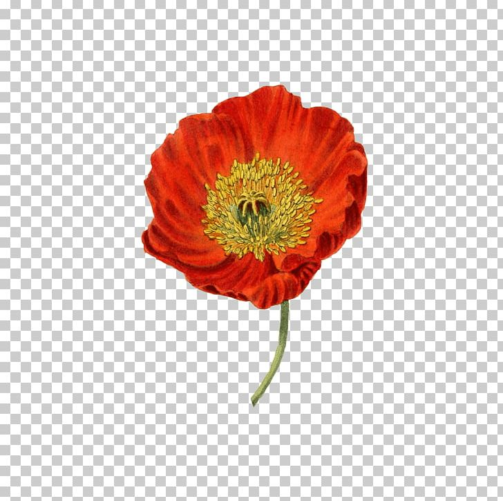 Poppy clipart nature. Red png flowers poppies