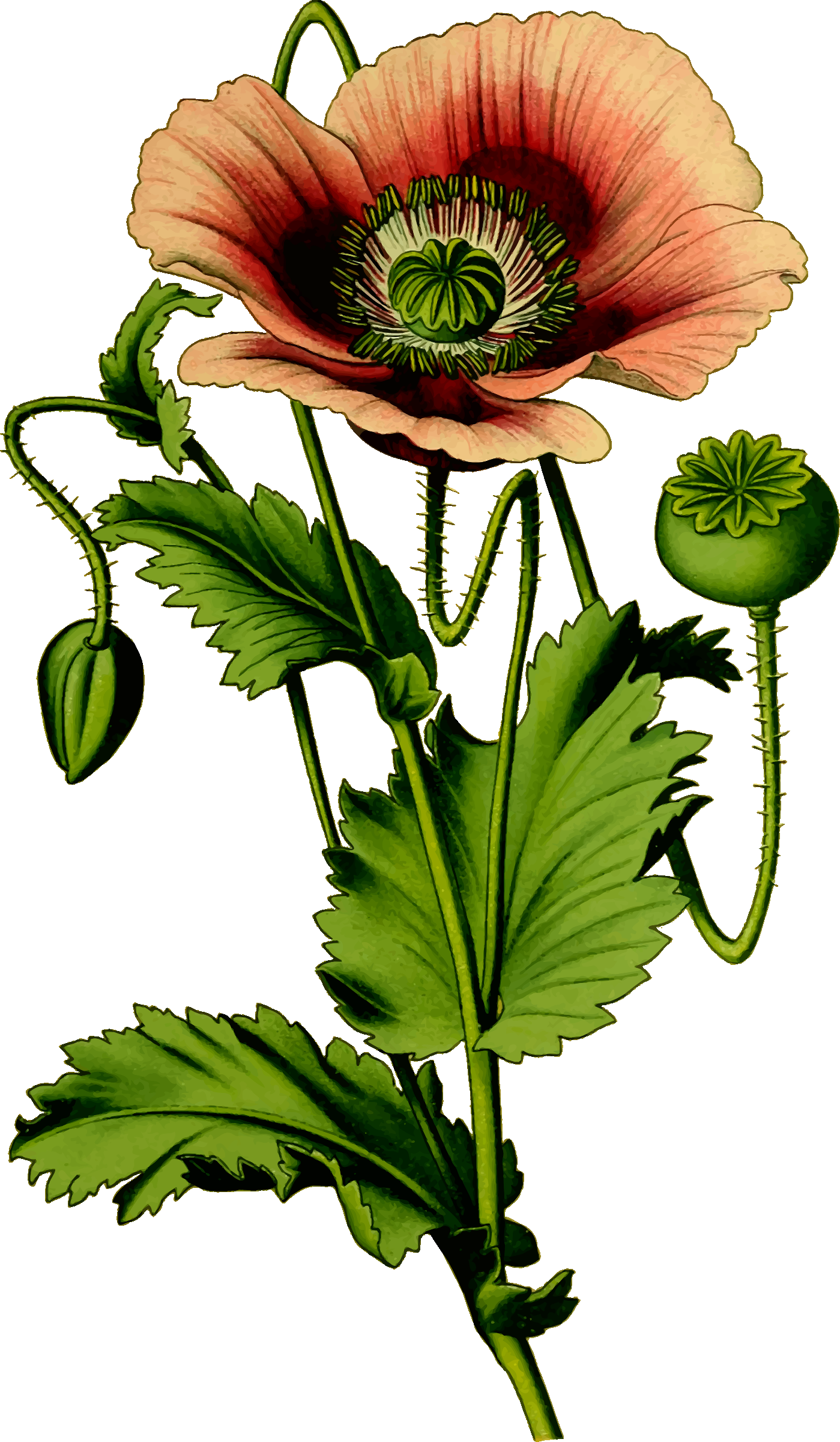 Opium icons png free. Poppy clipart nature