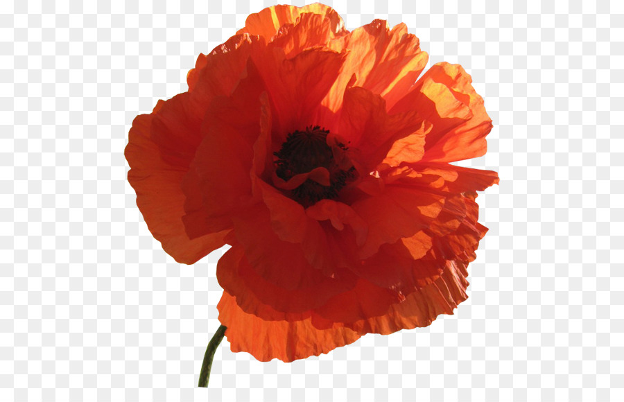 Poppy clipart orange poppy. Flowers background png download