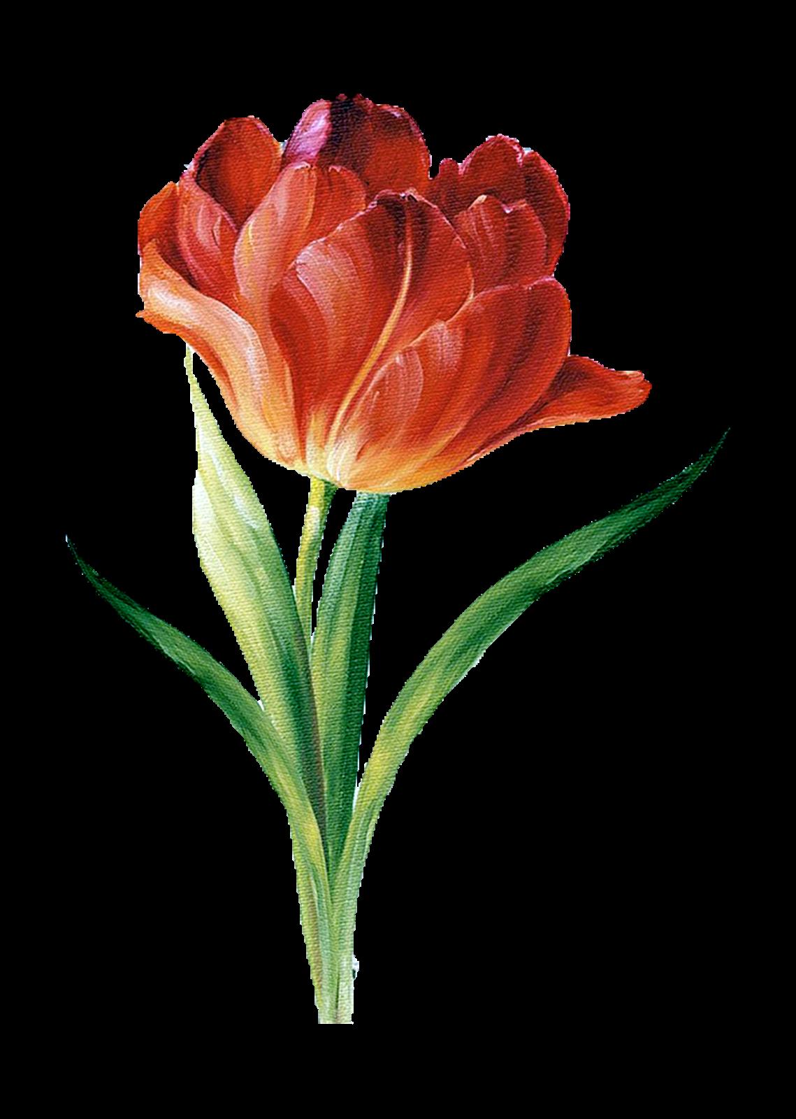 Poppy clipart orange tulip.  png lis audit