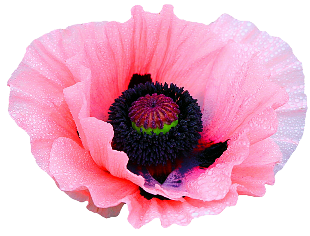 Poppy clipart pink poppy. By jeanicebartzen on deviantart